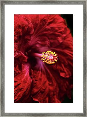 Scarlet Hibiscus Framed Print by Jessica Jenney