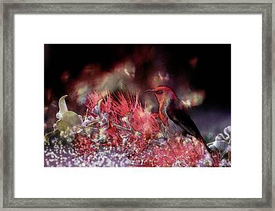 Scarlet Honeyeater Framed Print by Ericamaxine Price