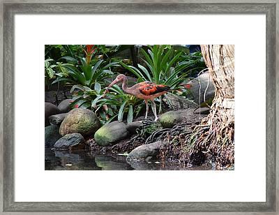 Scarlet Ibis Birds 02 Framed Print by Bruce Miller