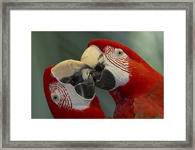 Scarlet Macaw Ara Macao Pair Kissing Framed Print by Zssd