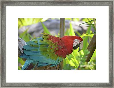 Scarlet Macaw Perched In A Tropical Tree Framed Print