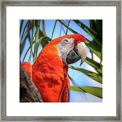 Framed Print featuring the photograph Scarlet Macaw by Steven Sparks