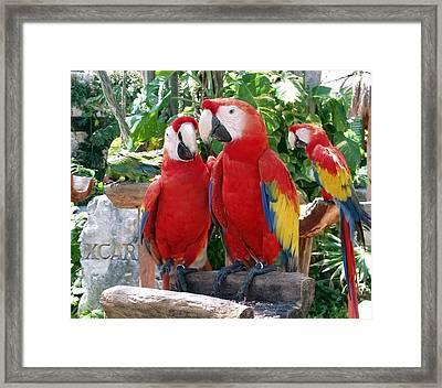 Scarlet Macaws Framed Print