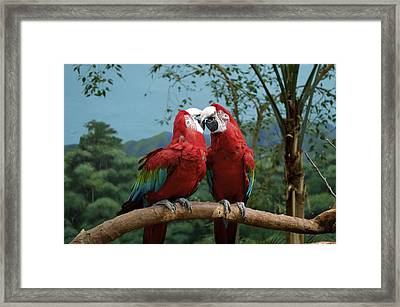 Scarlet Macaws Kissing Framed Print by Thomas Woolworth