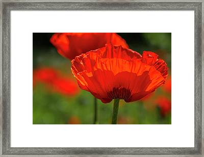 Scarlet Poppies Framed Print
