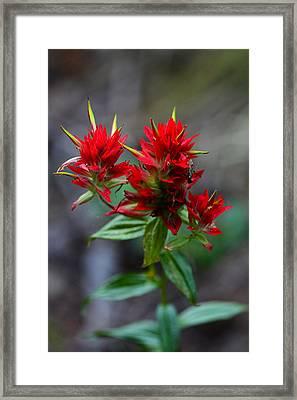 Scarlet Red Indian Paintbrush Framed Print