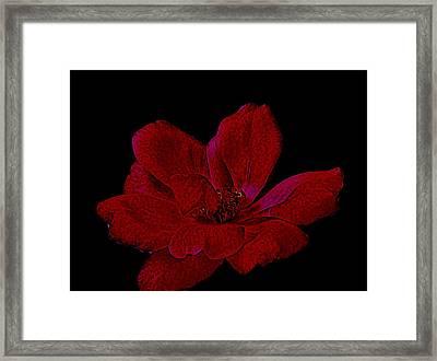 Scarlet Rose Framed Print by Marsha Heiken