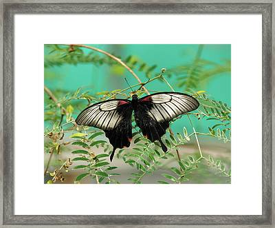 Framed Print featuring the photograph Scarlet Swallowtail Butterfly -2 by Paul Gulliver