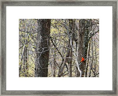 Scarlet Tanager Male Facing Framed Print by Donald Lively