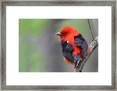 Scarlet Tanager Framed Print by Mircea Costina Photography