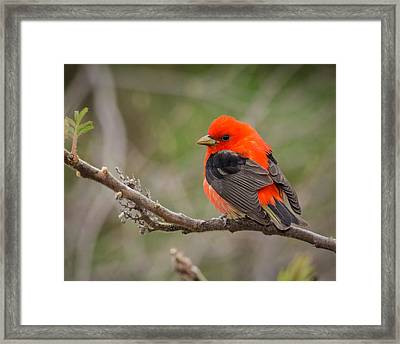 Scarlet Tanager On Branch Framed Print
