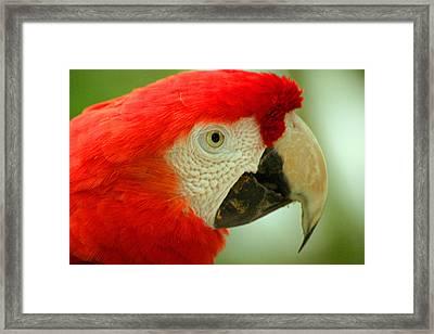Scarlett Macaw South America Framed Print
