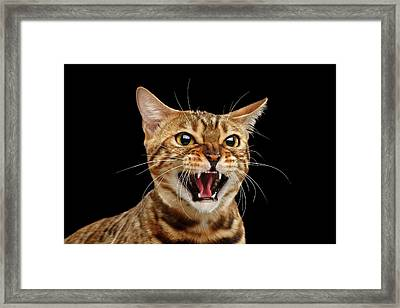 Scary Hissing Bengal Cat On Black Background Framed Print by Sergey Taran