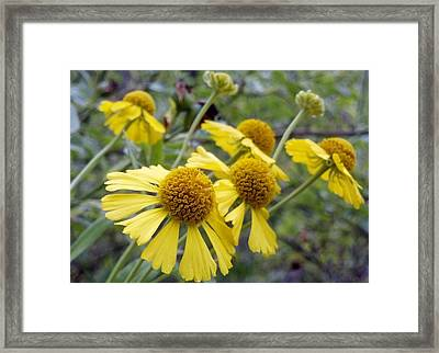 Scatter Sunshine... Cluster Of Yellow Wildflowers Framed Print