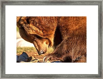 Scavenger Closeup Framed Print by Adam Jewell