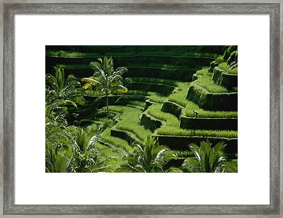 Scenic Valleys With Rice Fields In Bali Framed Print by Paul Chesley