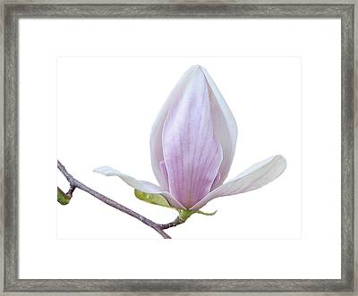 Scent Of A Magnolia Framed Print by Christine Till