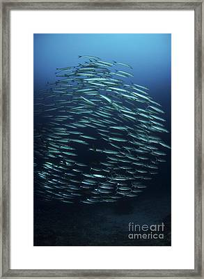 School Of Barracuda, Manado, North Framed Print