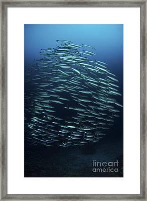 School Of Barracuda, Manado, North Framed Print by Mathieu Meur