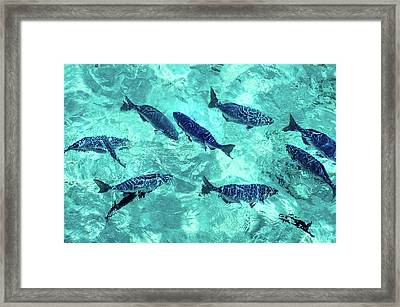 School Of Blue Fishes Framed Print