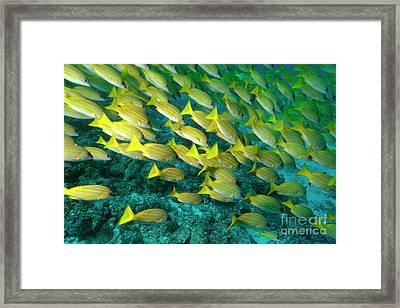 School Of Blue Stripe Snapper Framed Print by Sami Sarkis