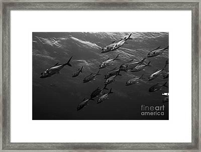 School Of Caranx Swimming Through The Ocean Framed Print