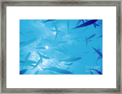 School Of Fish Silhouetted Against Water Surface By Sunbeams Penetrating The Water Framed Print by Sami Sarkis