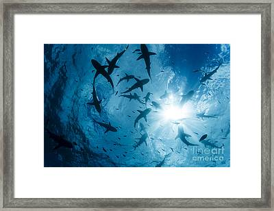 School Of Grey Reef Sharks Framed Print by Dave Fleetham