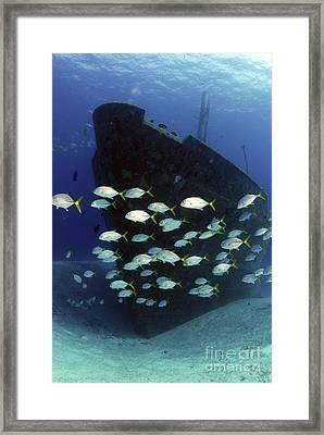 School Of Horse-eye Jack Fish Swmming Framed Print by Amanda Nicholls