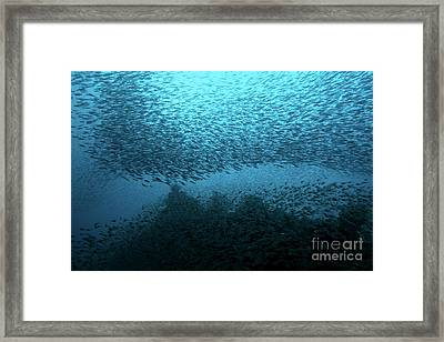School Of Nose-spot Cardinal Fish Underwater Framed Print by Sami Sarkis