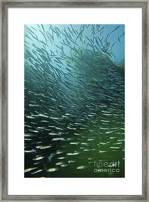 School Of Pacific Sardines In Kelp Framed Print
