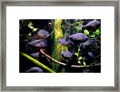 School Of Piranha  Framed Print by Mike Quinn