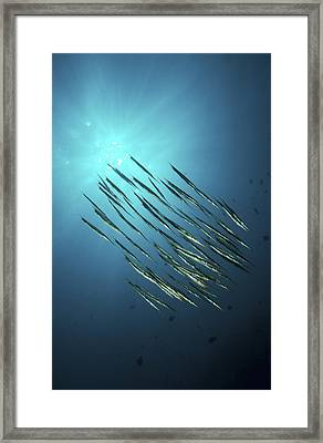 School Of Razorfish, North Sulawesi Framed Print