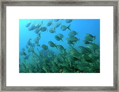 School Of Salema Fishes Sarpa Salpa Framed Print