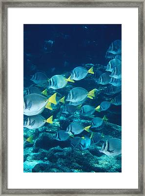 School Of Surgeonfish Cruising Reef Framed Print by James Forte