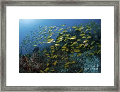 School Of Yellow Snapper, Great Barrier Framed Print by Mathieu Meur