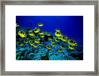 Schooling Raccoon Framed Print by Dave Fleetham - Printscapes