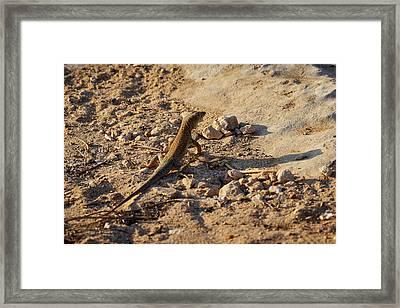 Schreiber's Fringe-fingered Lizard Framed Print