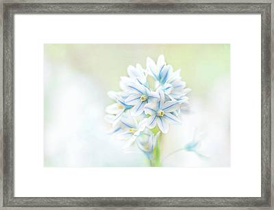 Scilla Bifolia Framed Print