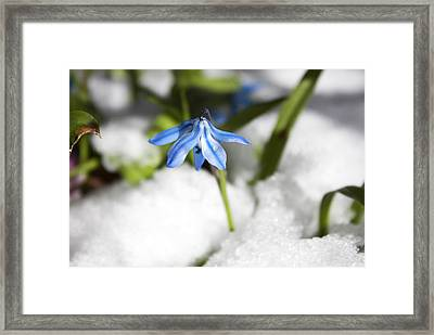 Framed Print featuring the photograph Scilla In Snow by Jeff Severson