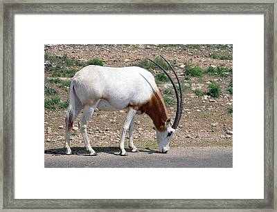Scimitar Horned Oryx Framed Print by Teresa Blanton