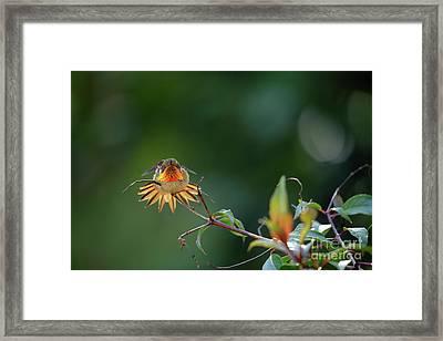 Scintillant Hummingbird Framed Print