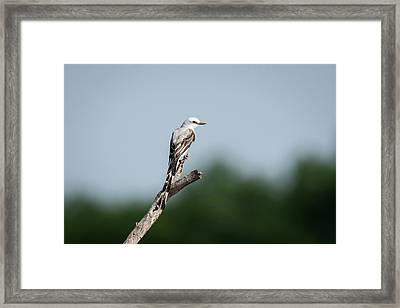 Scissor-tailed Flycatcher Out On A Limb Framed Print by Debra Martz