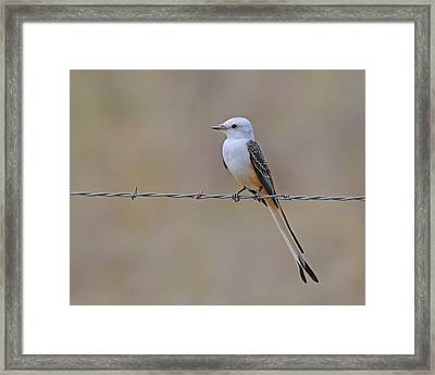 Scissor-tailed Flycatcher Framed Print by Tony Beck
