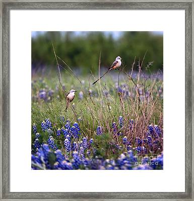 Scissor-tailed Flycatchers Framed Print