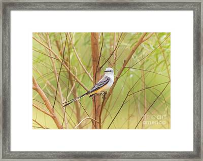 Framed Print featuring the photograph Scissortail In Scrub by Robert Frederick