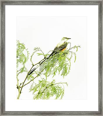 Framed Print featuring the photograph Scissortail On Mesquite by Robert Frederick