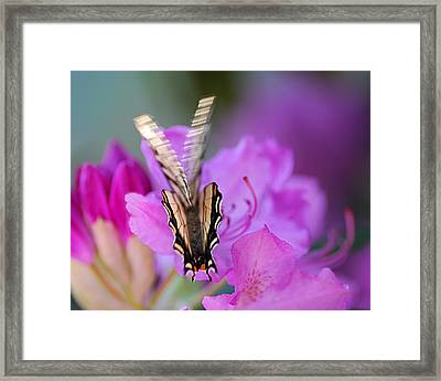 Framed Print featuring the photograph Scissorwings by Susan Capuano