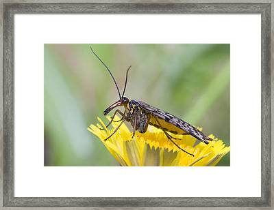 Scorpionfly Framed Print by Andre Goncalves