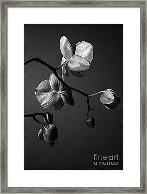 Scotopic Vision 3 - Orchid Framed Print by Pete Hellmann